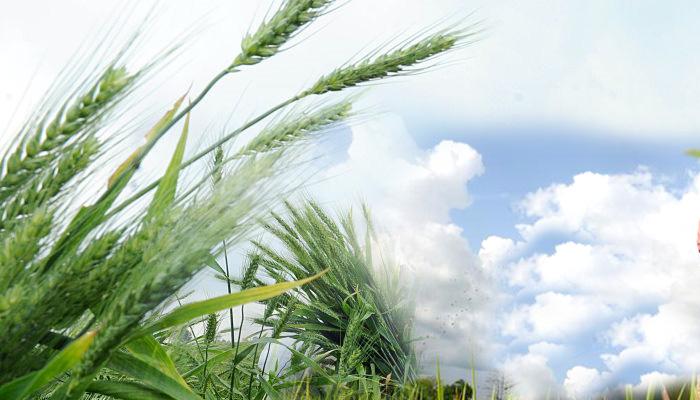 wheat-plantation-in-field