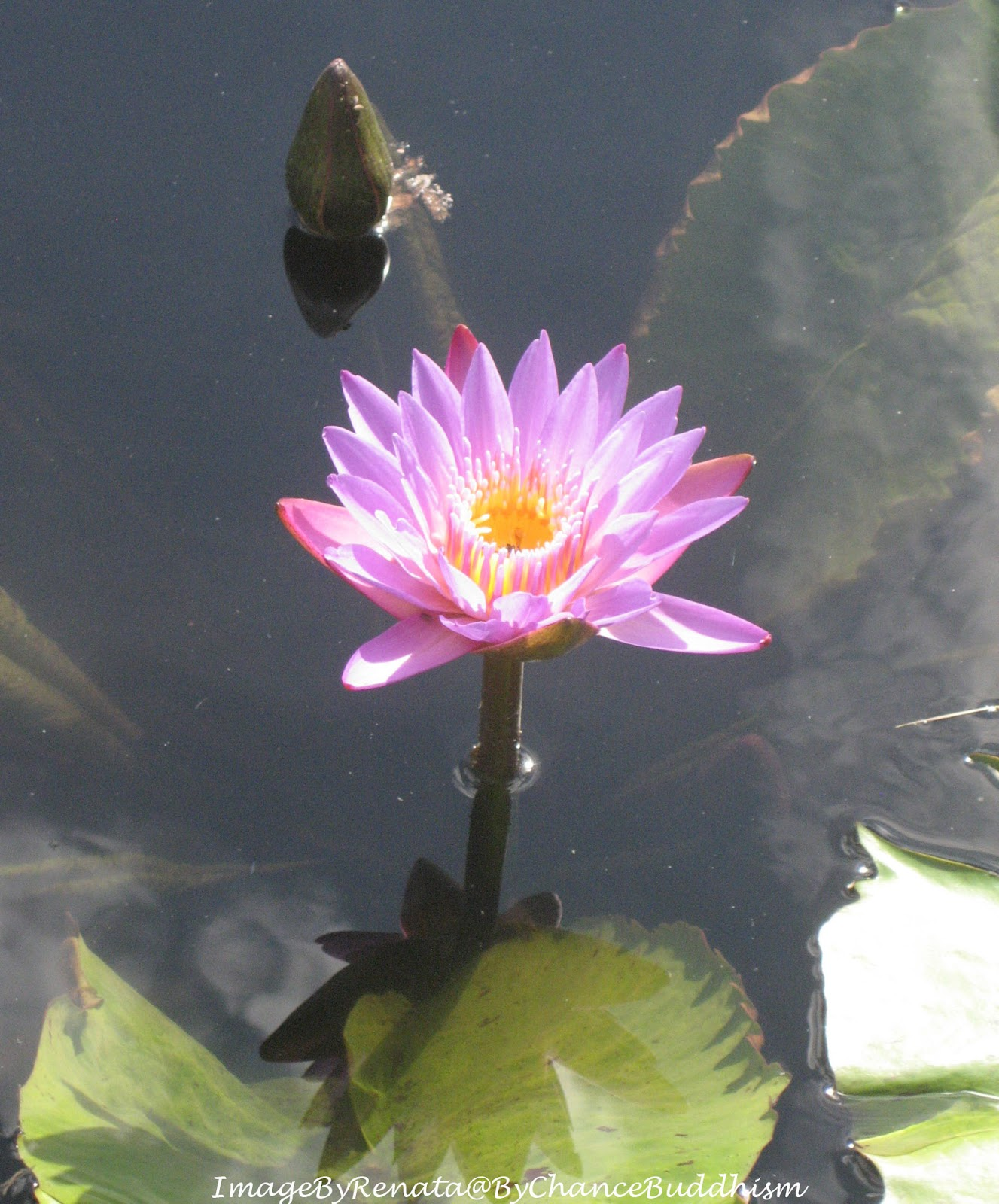 Bychancebuddhism A Lotus For You