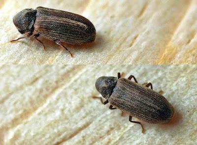 Cara Mudah Membasmi Hama Kayu Furniture Kumbang Kayu