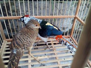 Lady Amherst's Pheasant Dewasa Sepasang