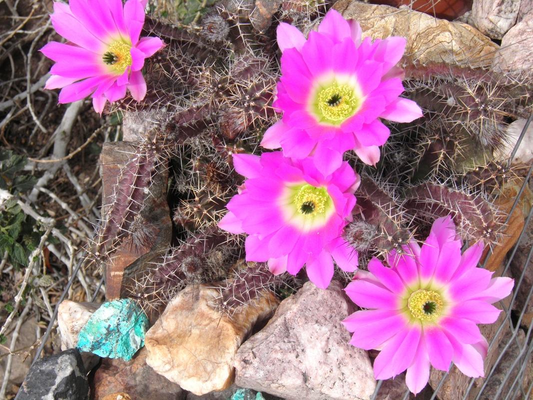 Arizona beetles bugs birds and more cactus flowers bees and cactus flowers bees and rattlesnakes spring in arizona mightylinksfo