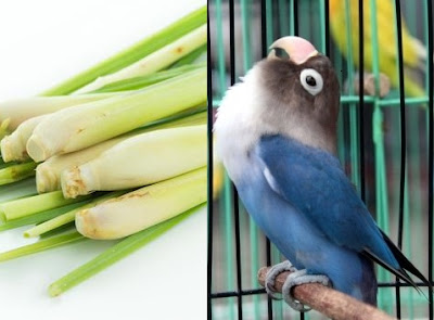 Manfaat daun sereh agar burung lovebird rajin ngekek panjang