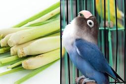 Rebusan daun sereh dapat membuat lovebird ngekek panjang