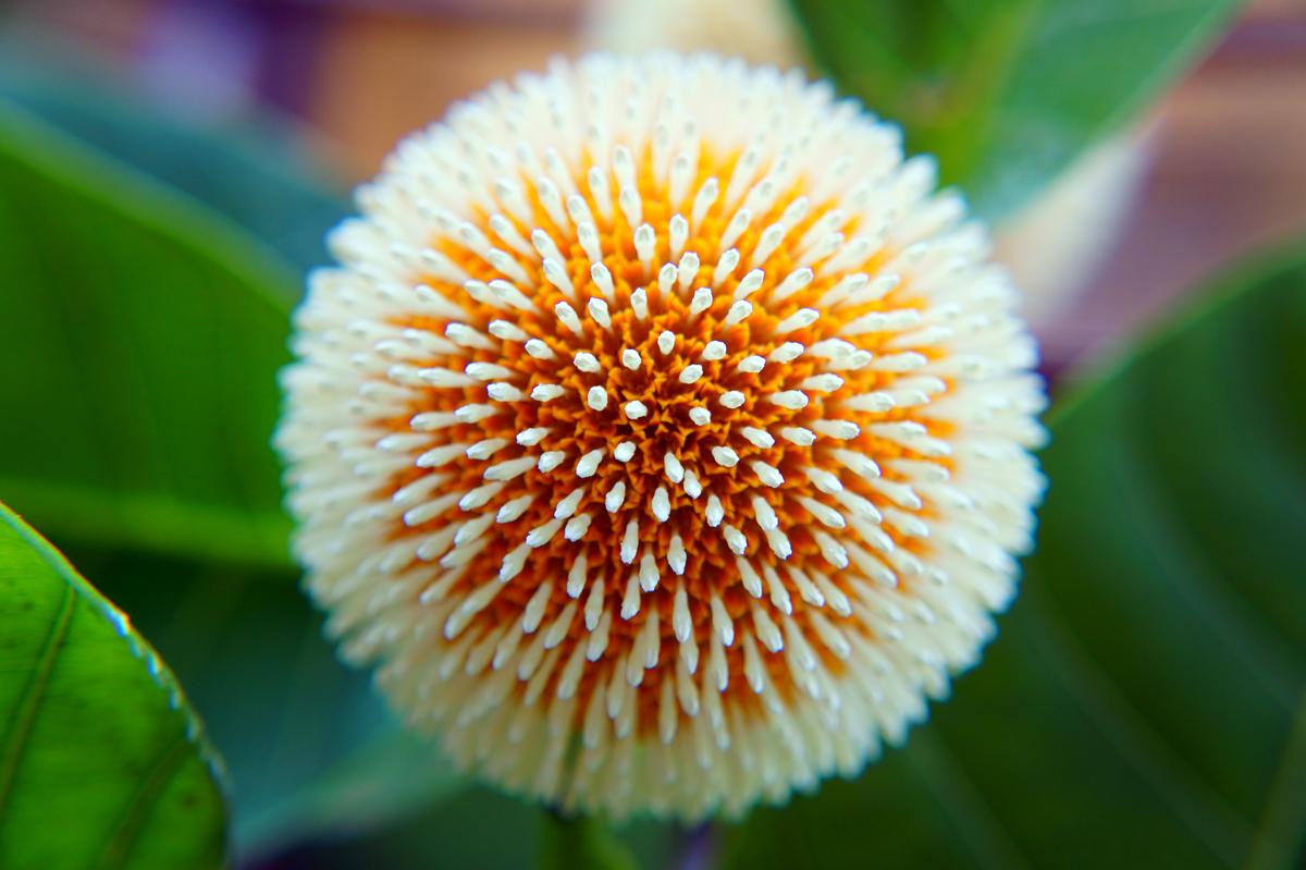 """Wallpaper: Kadam Flower """"Beauty of Nature"""""""