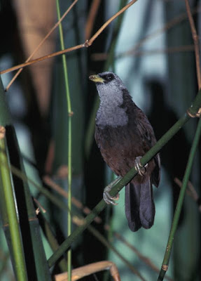 Grey-hooded Capuchin Babbler