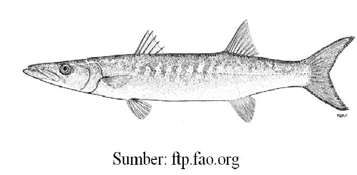 Download 5400 Gambar Ikan Tenggiri Animasi Terbaru