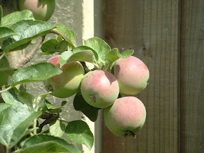Close up of a cluster of apples growing against a fence