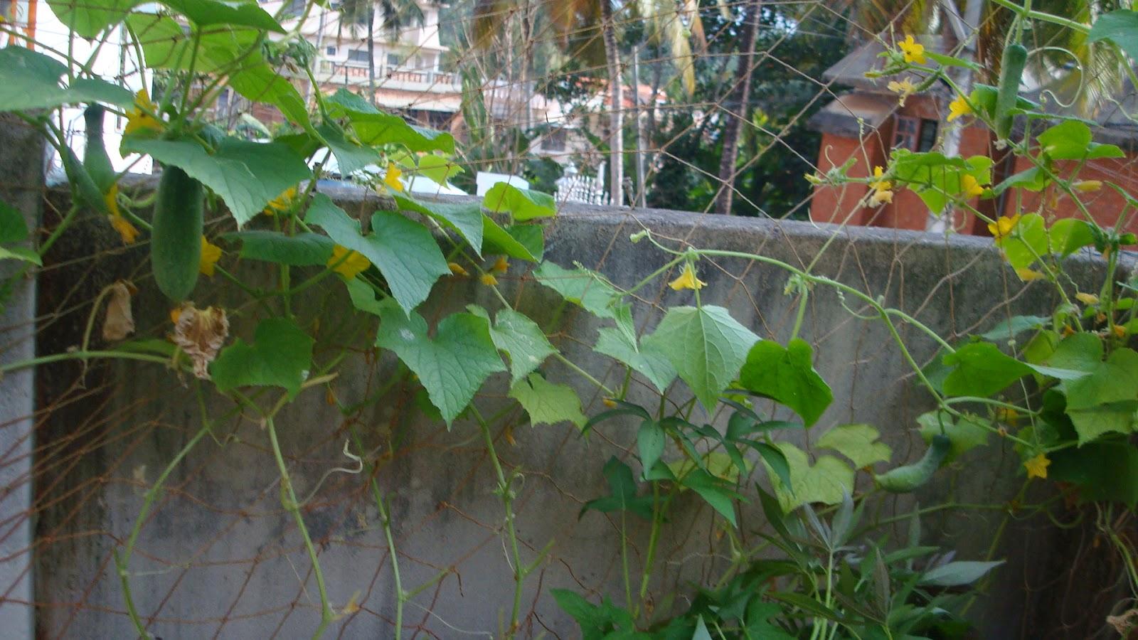 Keralaponics aquaponics fish and plants for Fish and plants in aquaponics