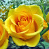 Yellow Day / Rose Day (14 Mayıs)
