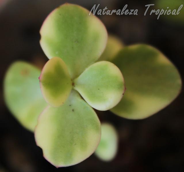 Vista de las hojas del Árbol de la Abundancia variegado, Portulacaria afra variegata