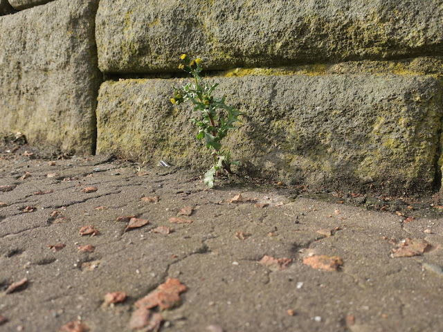 Stong groundsel plant beside a stone wall.