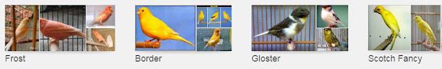 Mengenal Jenis-Jenis Burung Kenari