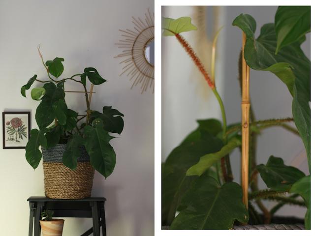 plante verte guyane a la maison