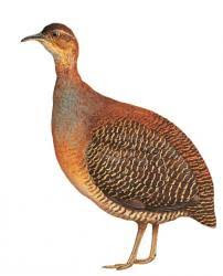 Yellow legged Tinamou