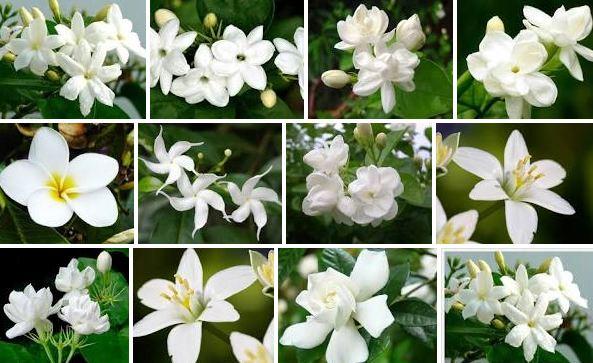 Mengenal Bunga Melati Beserta Jenis Jenisnya Koleksi Bunga
