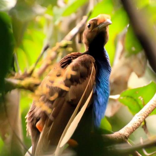 Tinuku Travel Aketajawe-Lolobata National Park on Halmahera island, watching the beautiful birds and most rarest in the world