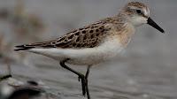 sandpiper bird pictures_Tringa glareola
