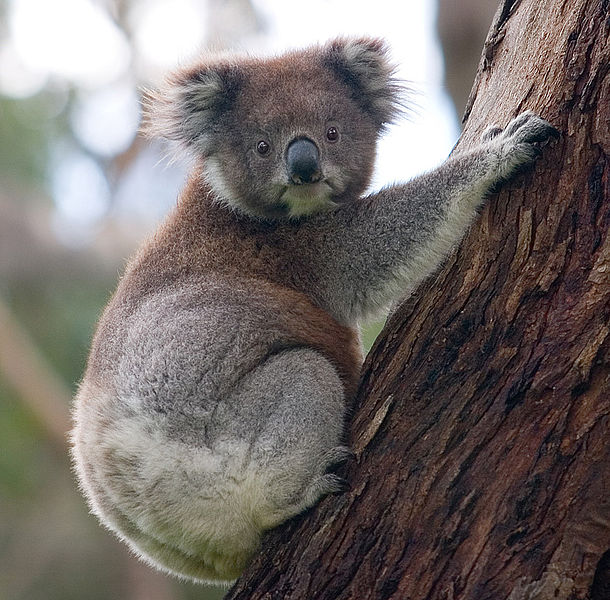 Mammals Animals: Koala climbing tree