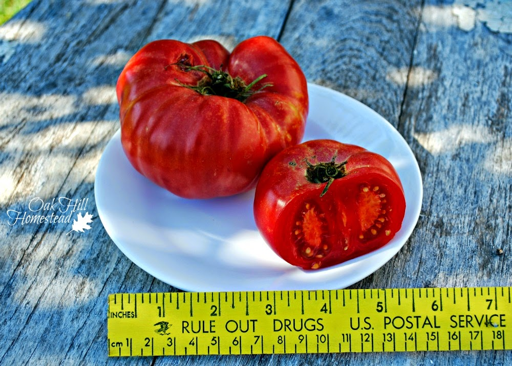 "This is the ""mortgage lifter"" variety of tomato. Here's how it compares to the other varieties growing in my garden this year."
