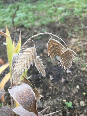 Chasmanthium latifolium en automne