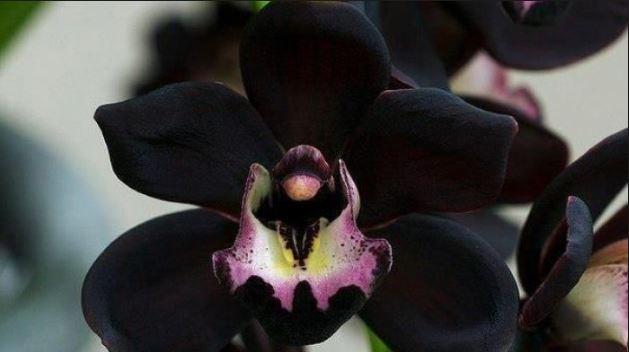 anggrek hitam