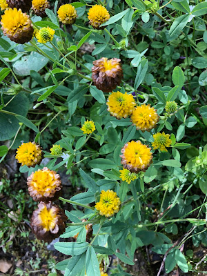 [Fabiaceae] Trifolium badium – Brown Clover (Trifoglio bruno)