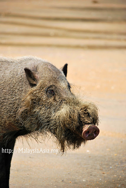 Pictures of Bearded Pig