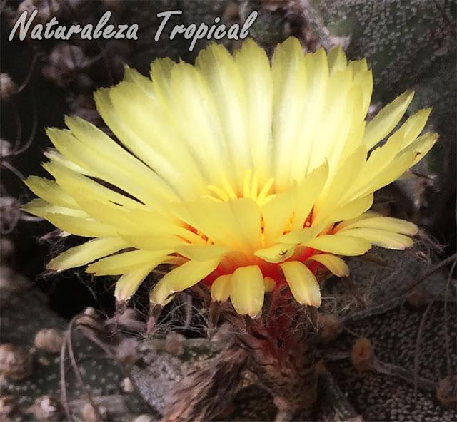 Vista lateral de la flor del Cactus Estropajo o Capricornio, Astrophytum capricorne
