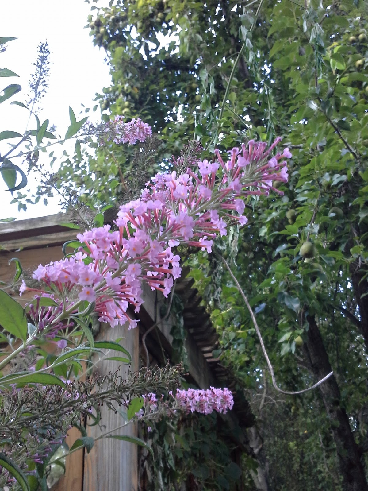 Linda Lu S Comments Butterfly Bush Buddleia For The Backyard Garden
