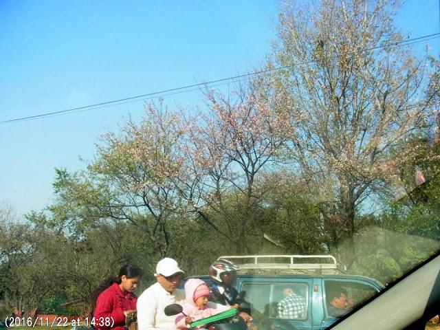 写真3 空港近くに咲くリングロード沿いのヒマラヤ桜。