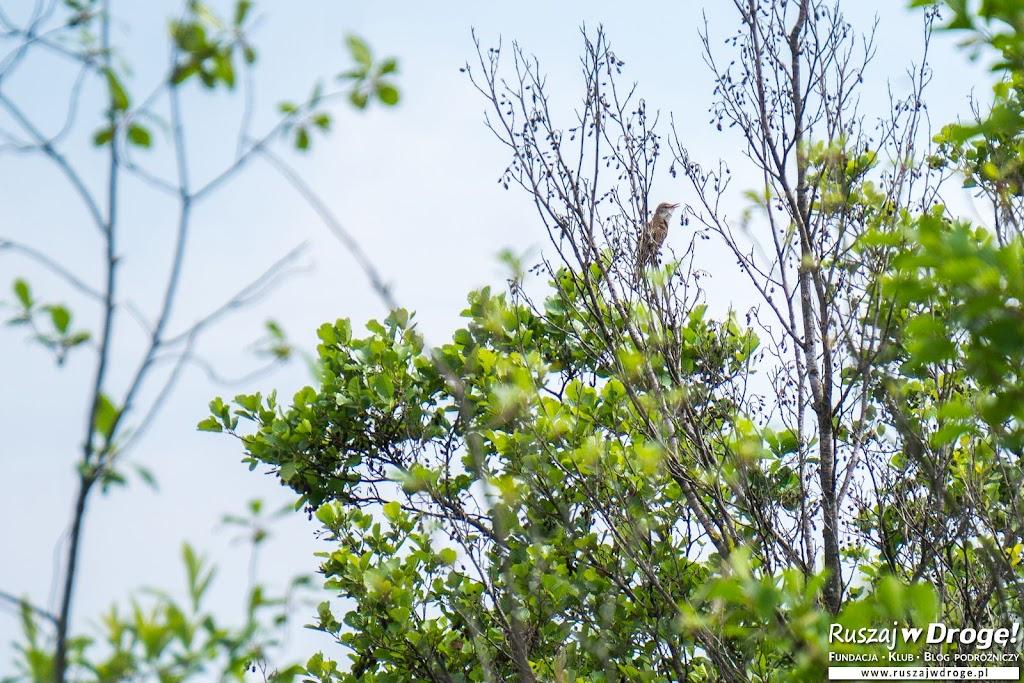 Ten ptak (trzciniak) dawał niezły koncert - Mieszkańcy Poleskiego Parku Narodowego