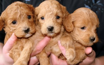 Wallpaper: Lovely Golden Puppies