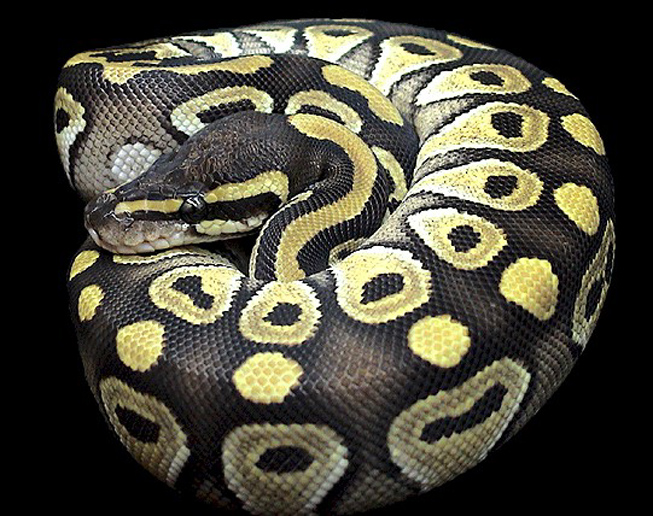 Lesser Bee Ball Python Fan's Reptiles