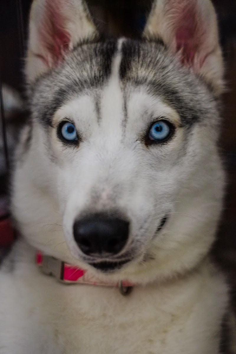 Petunia the husky, photograph by Mandy Charlton, Newcastle Photographer