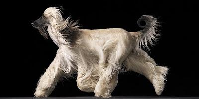 Fotografía de perro con cabello largo y blanco