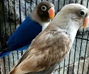 cara merawat lovebird paud agar rajin ngekek dan gacor