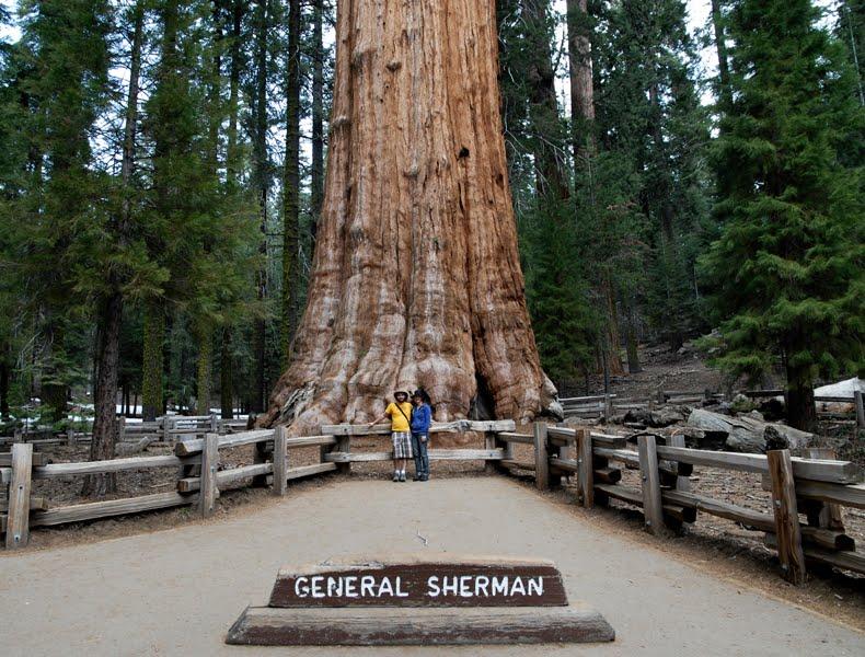Pohon Terbesar yang Pernah Ada di Dunia