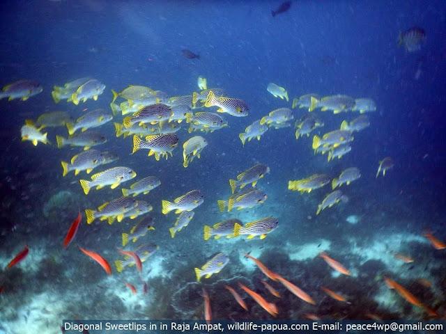 Diagonal sweetlips fish