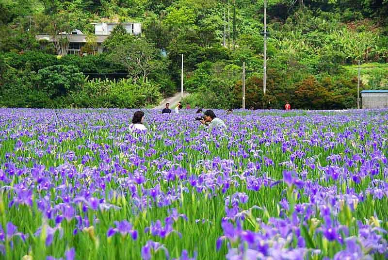 photography,Iris field,Okinawa, nice weather