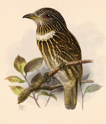 White chested Puffbird