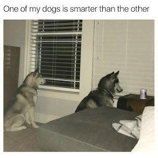 not a smart husky dog