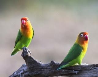 8 Ciri Lovebird Siap Lomba