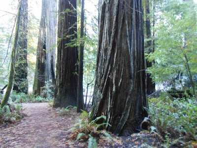 redwoods, forest, spiritual support, spiritual nature