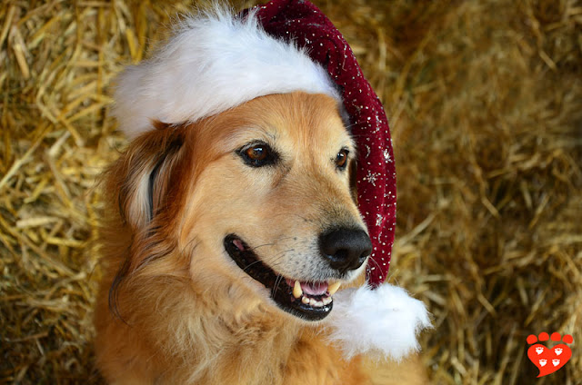 The dog body language quiz: How can I tell if my dog is afraid or happy? Look at this Golden Retriever in a Santa hat
