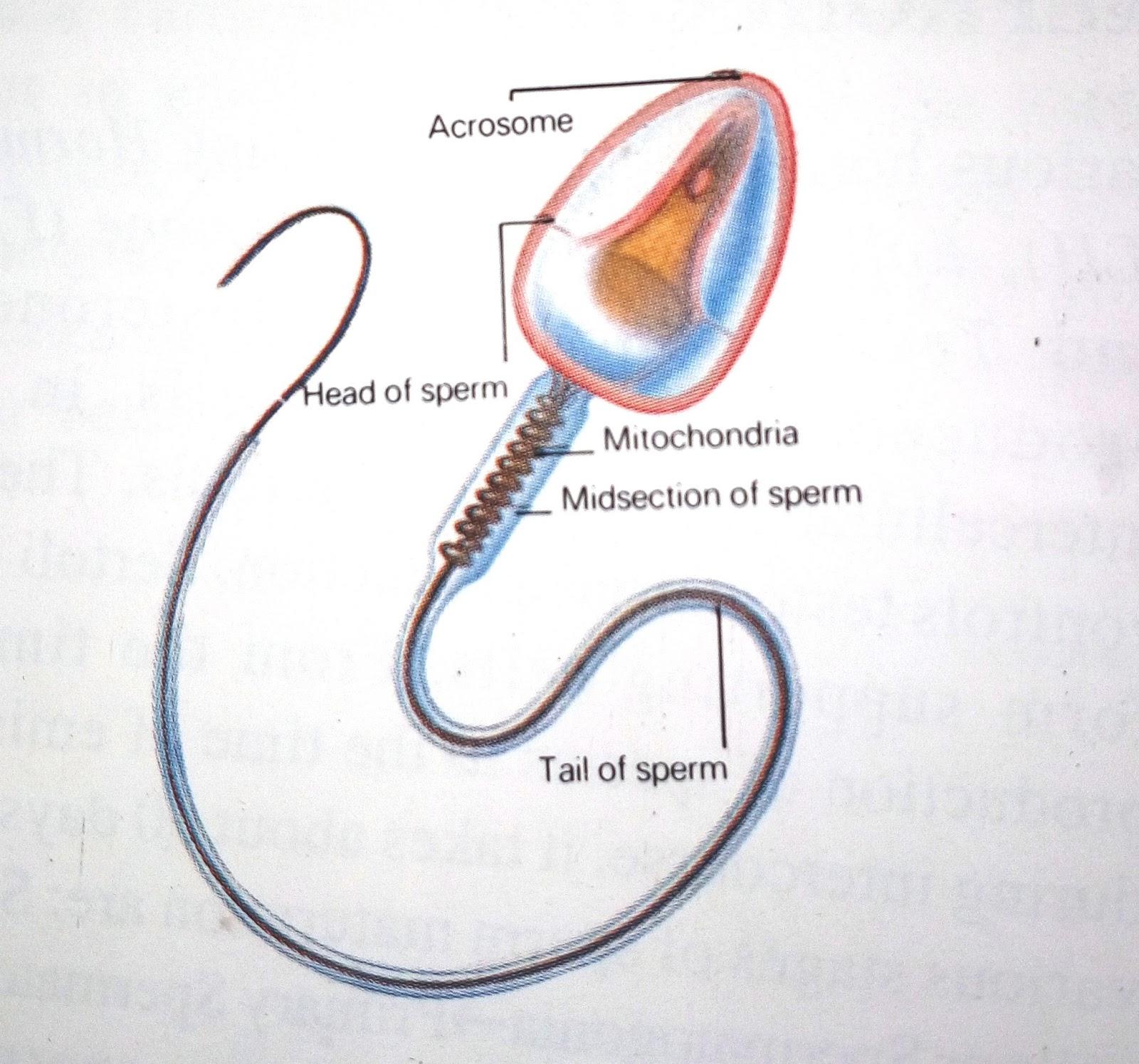 Rar sperm nucleus