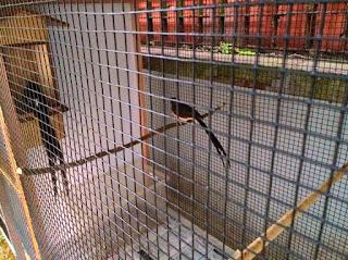 Burung Murai Batu - Penangkaran Murai Batu yang Tidak Akan Ada Matinya (Akan Selalu Di Buru) - Penangkaran Burung Murai Batu