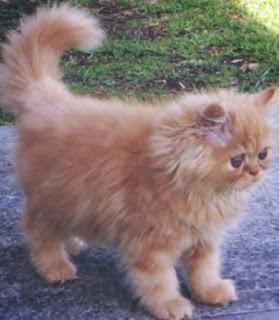 Perbedaan Kucing Anggora dan Persia himalaya