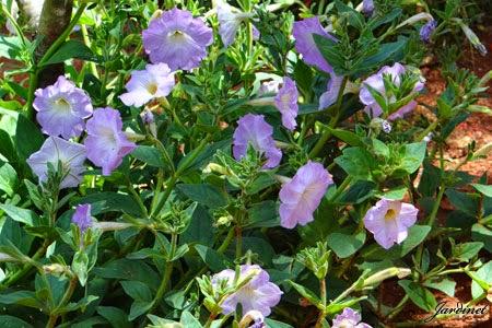Flores da petúnia