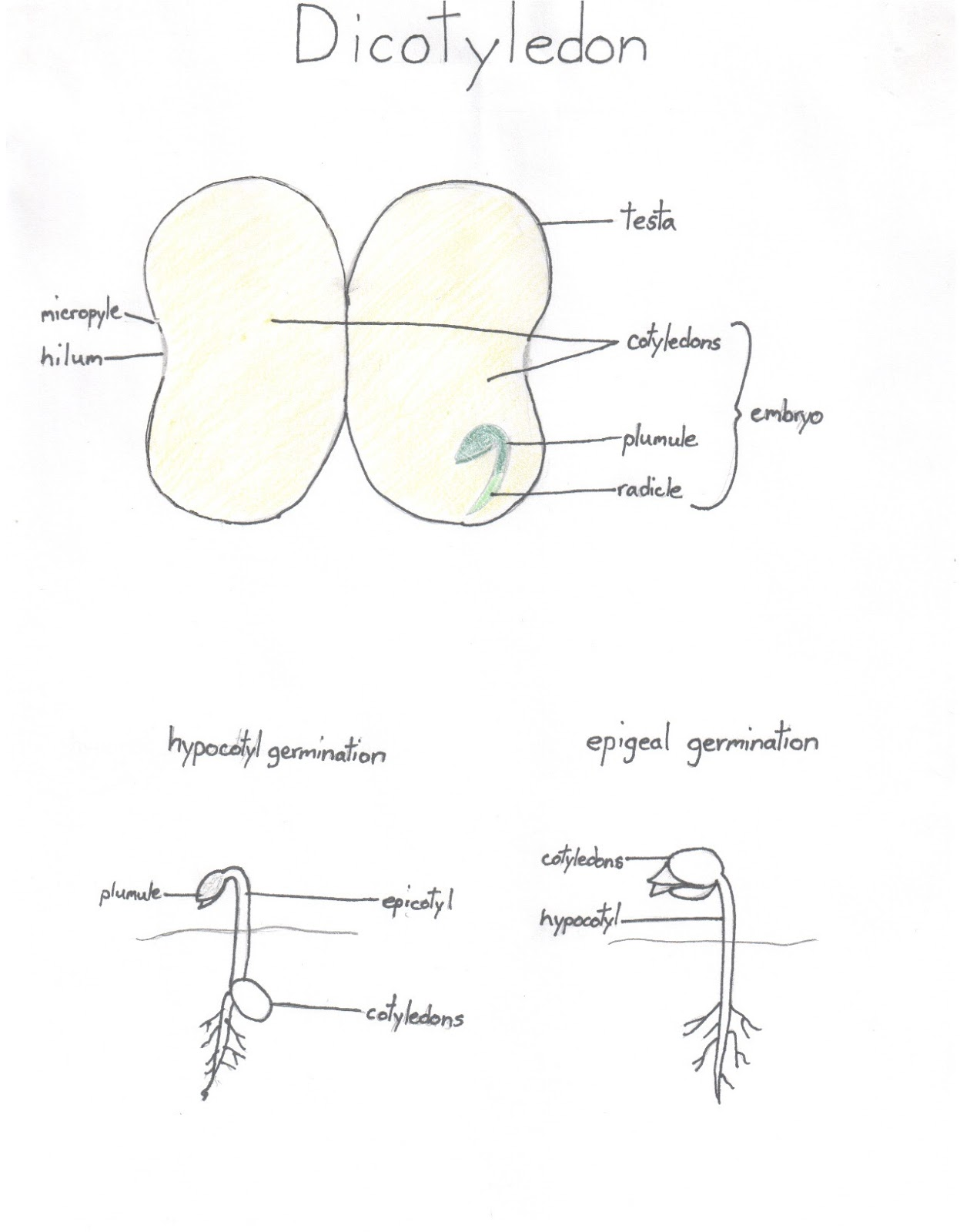 small resolution of here is a diagram of a monocot seed and its typical germination here is a diagram