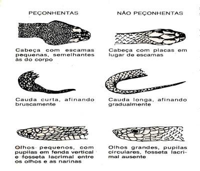Saiba identificar as cobras venenosas e não-venenosas